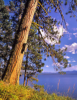 Ponderosa Pine tree with birdhouse on shore of Diamond Lake. Oregon.