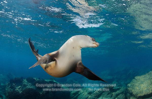 QT1401-D. California Sea Lion (Zalophus californianus). Baja, Mexico, Sea of Cortez, Pacific Ocean.<br /> Photo Copyright &copy; Brandon Cole. All rights reserved worldwide.  www.brandoncole.com