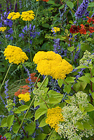 Achillea (yellow) with Nepeta & Agapanthus  & red Helenium for blue and yellow flower garden