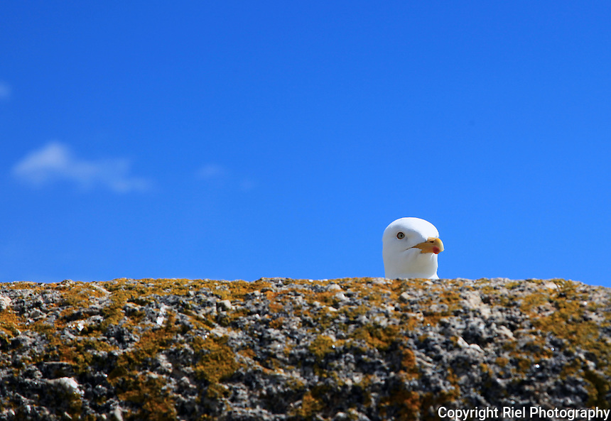 This gull seemed to be playing a game of peekaboo over a breakwater in Cornwall.