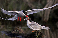 An Arctic Tern chick (Sterna paradisaea) receives food from its parent.   Alaska, USA