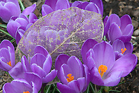 Purple crocus and decaying leaf. Oregon Gardens, OR