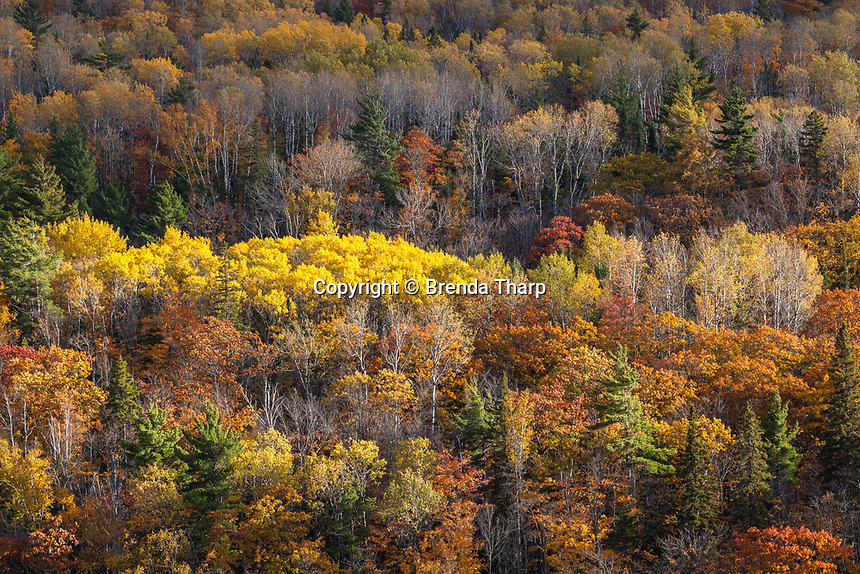 Low angled rays skim the tops of the forest, highlighting a stand of aspen trees in the Keewenaw Peninsula, Upper Michigan.