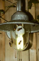 Hornisse, Hornissen, werden vom Licht angelockt, Lampe, Vespa crabro, hornet, hornets, brown hornet, European hornet, nest