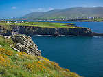 County Kerry, Ireland: Yellow flowering gorse on grassy hillside on Valentia Island overlooking Portmagee Channel with the village of Portmagee in the distance