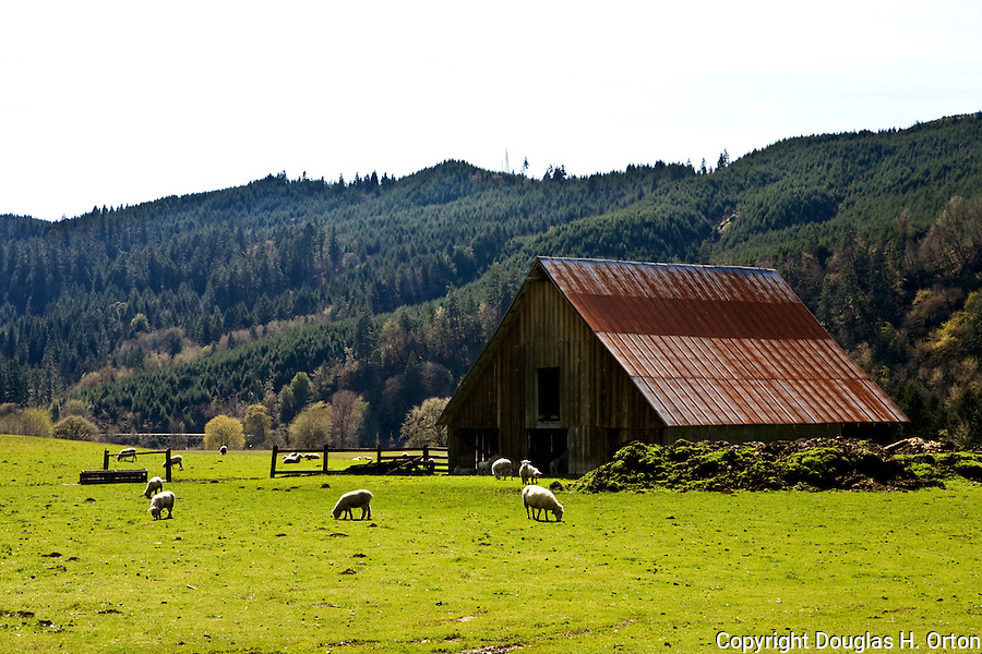Sheep graze on small farm roadside along Oregon Highway 38 as it crosses the coastal mountains between Interstate 5 in the Willamette Valley and Reedsport on the Oregon Coast.  Known as the Umpqua State Scenic Corridor.