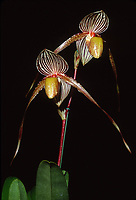 Orchid hybrid: Paphiopedilum Saint Swithin, very early primary hybrid cross of philippinense x rothschildianum, 1901.this is a first bloom that took 10 years to flower.