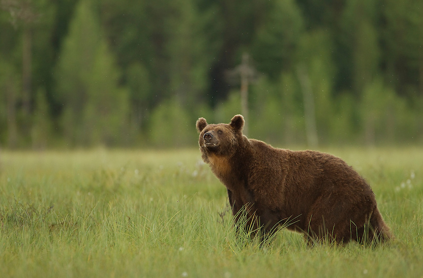 Brown Bear (Ursos arctos), male looking for food, Finland, July 2012