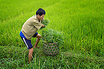 Nguyen Xuan Cuong, who lost his arms to a landmine during the U.S. war against Vietnam, works in his rice field in Ha Trach, Vietnam.