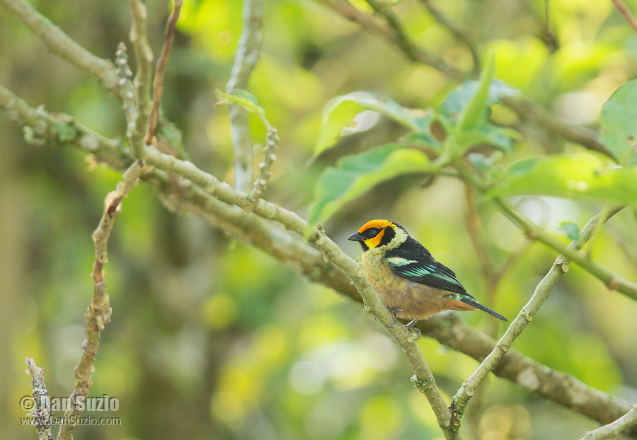 Flame-faced tanager, Tangara parzudakii lunigera, Tandayapa Valley, Ecuador