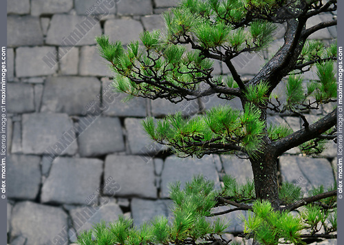Bent Japanese black pine tree, Pinus thunbergii, Niwaki trained green branches on stone wall background in a garden in Osaka, Japan Image © MaximImages, License at https://www.maximimages.com