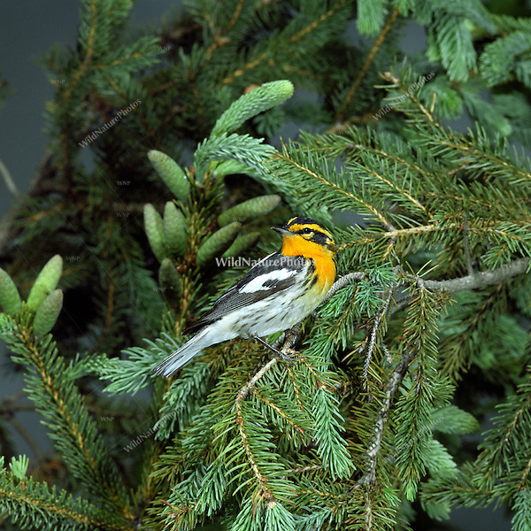 Blackburnian Warbler (Dendroica fusca), perched in a fir tree in Ohio
