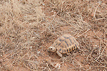 Spur Thighed Tortoise, Testudo graeca, Near Lalla Takerkoust, South Marrakech, Morocco, Vulnerable on IUCN Red Data List