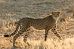 Cheetah (Acinonyx jubatus) twenty-one month old sub-adult female, Kafue National Park, Zambia
