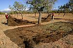 SPAIN Mallorca, Binissalem, Finca Biniagual, almond trees, almond harvest / SPANIEN Mallorca, , Binissalem, Finca Biniagual, Mandelbaeume, Mandelernte