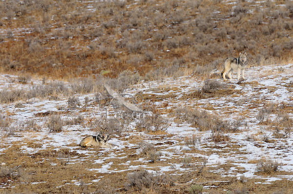Wild Gray Wolf pups (about 6 months old) waiting for pack to return at rendezvous site.  Yellowstone National Park.  Fall.  These pups are almost large enough to start traveling with the pack, but here they remain in a safe area waiting to be fed by the returning pack members.