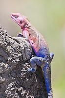 Agama Lizard, Agama agama, Serengeti National Park, Tanzania, East Africa