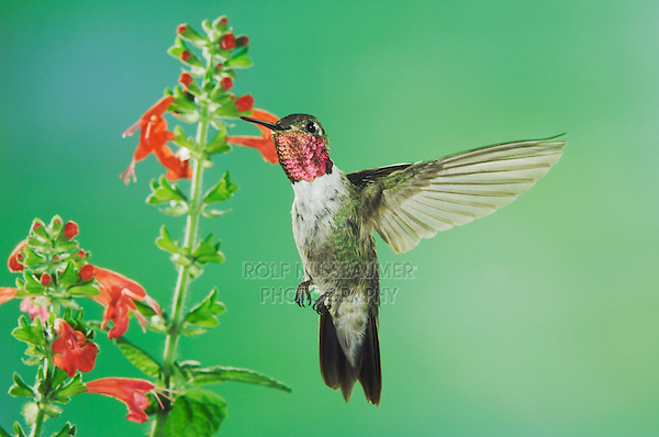 Broad-tailed Hummingbird, Selasphorus platycercus, male feeding on sage(salvia ssp.), Paradise, Chiricahua Mountains, Arizona, USA, August 2005