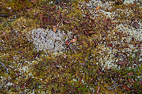 Fruticose lichens is pictured in the rocky seashore of the St. Lawrence river in the Essipit Innu community in the Quebec region of Cote-Nord Thursday October 11, 2012. Lichens are composite organisms consisting of a symbiotic relationship between a fungus (the mycobiont) and a photosynthetic partner.