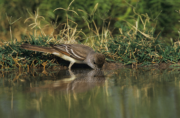 Ash-throated Flycatcher, Myiarchus cinerascens, adult drinking, Starr County, Rio Grande Valley, Texas, USA, May 2002