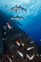 RM0513-D. Pacific Creolefish (Paranthias colonus) aggregate along reef wall to be cleaned by Barberfish (Johnrandallia nigrirostris), the small yellow and black fish, while Whitetip Reef Sharks (Triaenodon obesus) circle above. Baja, Mexico, Pacific Ocean.<br /> Photo Copyright &copy; Brandon Cole. All rights reserved worldwide.  www.brandoncole.com