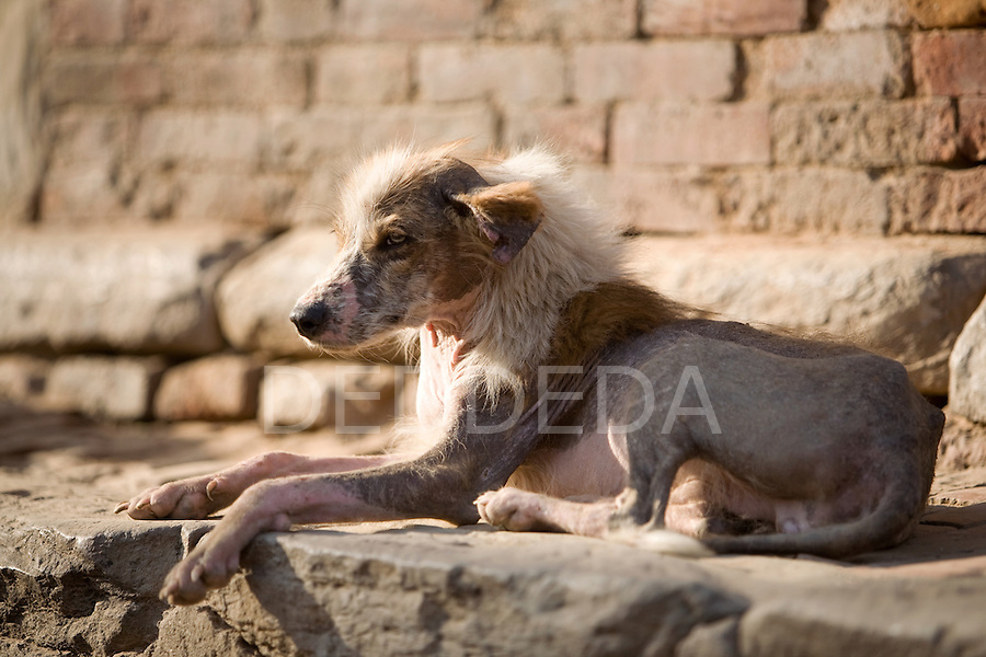 A malnourished and sick dog with skin disease rests in the sun in the Ancient city of Bhaktapur Durbar Square, Nepal.