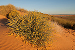 Wildflowers growing in the sand dunes of the Simpson Desert. The Simpson Desert is a large area of dry, red sandy plain and dunes in Northern Territory, South Australia and Queensland in central Australia.[1][2][3] It is the fourth largest Australian desert, with an area of 176,500 km² (68,100 sq mi).