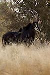 Hippotrague noir,  sable antelope (Hippotragus niger).
