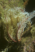 Feather star - Antedon bifida