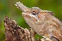 Lesser Chameleon {Furcifer minor} male, Central Highlands, Madagascar. IUCN Vulnerable  Species.