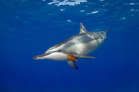 spinner dolphin, Stenella longirostris, picks up leaf with pectoral fin, Hawaii ( Central Pacific Ocean ) 1 of 2 in sequence