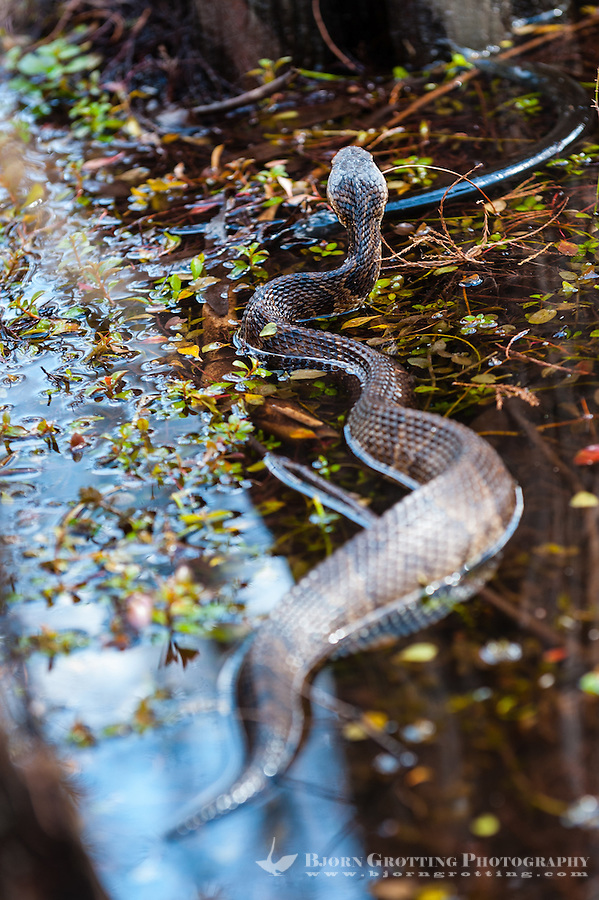 US, Florida, Everglades. Cypress swamp. Water moccasin aka Cottonmouth snake with it's prey, an eel.