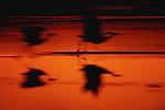 Sandhill cranes in flight, New Mexico