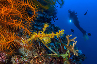 ornate ghost pipefish, harlequin ghost pipefish, Solenostomus paradoxus, and scuba diver, Bunaken National Park, North Sulawesi, Indonesia, Celebes Sea, Pacific Ocean