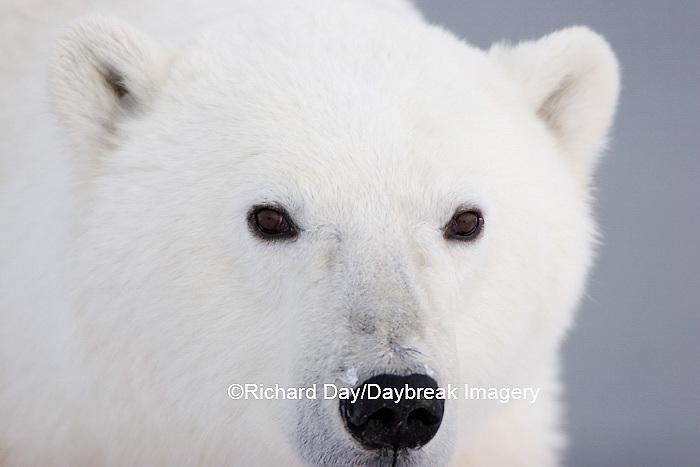 01874-106.14 Polar Bear (Ursus maritimus)  Churchill, MB