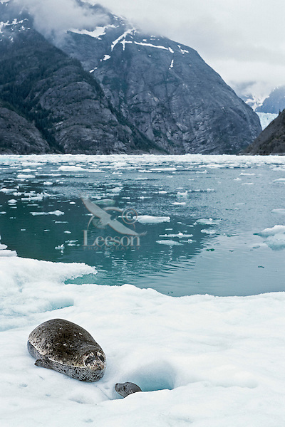 Harbor seal (Phoca vitulina) mothers often give birth on glacieral icebergs in Southeast Alaska (here LeConte Glacier near Petersburg).