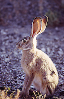 Hares - Jack Rabbit