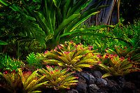 Bromeliads in garden. Hawaii, The Big Island.