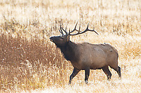 01980-02917 Elk (Cervus elaphaus) bull male bugling, Yellowstone National Park, WY