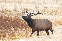01980-02917 Elk (Cervus elaphaus) bull male bugling, Yellowstone National Park, WY
