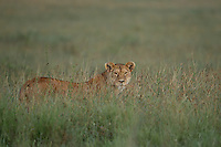 Lioness (Panthera leo) in the tall grass at sunrise, Serengeti