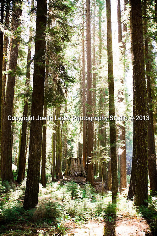 Nelder Grove, Sierra National Forest, Madera County, Oakhurst California, Photos by {The Studio} Yosemite and Joelle Leder Photography Studio &copy;, <br /> From Wikipedia - Nelder Grove is a sequoia grove located in the Sierra National Forest, Madera County, California. It is a 1540 acre (6.2 km&sup2;) tract containing over 100 mature Giant Sequoias. It also contains a number of sequoia stumps, left over from when the area was logged prior to its acquisition by the United States Forest Service in 1928. A National Forest campground is also present.