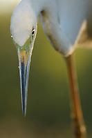 Great White Egret, Egretta alba or Ardea alba, Pusztaszer protected landscape, Kiskunsagi, Hungary