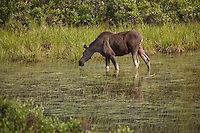 Two moose foraged on foliage in a small pond along the Park Road in Denali National Park.