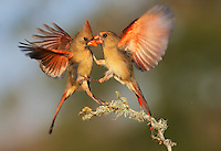 Northern Cardinal (Cardinalis cardinalis), females fighting, Dinero, Lake Corpus Christi, South Texas, USA