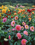 Shore Acres State park, OR:  A variety of colorful dahlias are mixed in one of the formal garden beds of Shore Acres State Park