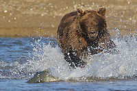 In its haste to escape the clutches of the Alaskan Brown Bear (Ursus Arctos) at Lake Clarke National Park, Alaska, a silver salmon beaches itself becoming easy prey. Brown bears are fairly clumsy at fishing, depending more on luck than skill, but will eat up to 15 fish a day given the chance.