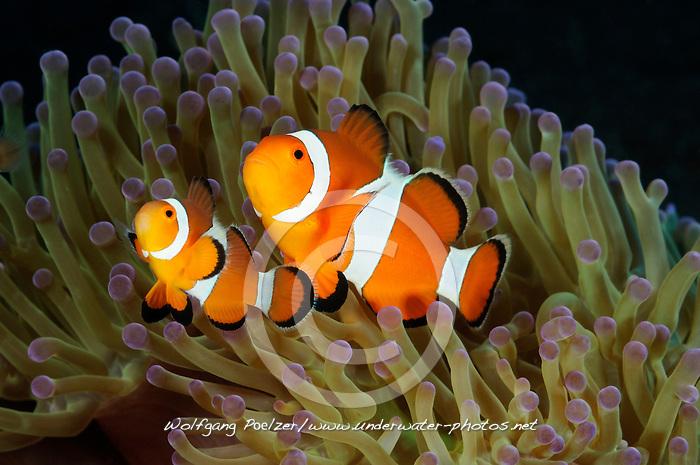Amphiprion ocellaris und Heteractis magnifica, Westlicher Clownfisch in Seeanemone, 2 Anemonenfische, 2 western clown-anemonefish in sea anemone, Ritteri anemone, Bali, Indonesien, Indopazifik, Bali, Indonesia Asien, Indo-Pacific Ocean, Asia