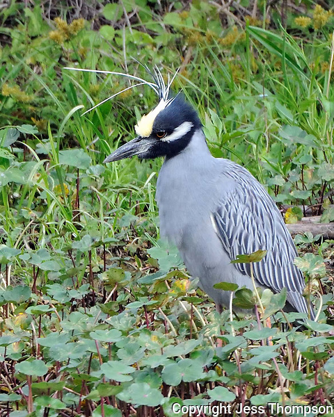 Yellow-crowned Night Heron, Brazos Bend State Park, TX