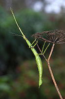 prickly stick insect<br /> Acanthoxyla geisovii